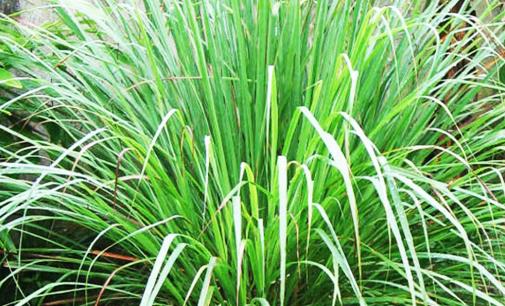 CEU Aricanduva recebe plantio  de citronela