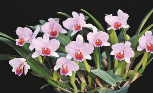 Festival de Orquídeas e Plantas Ornamentais leva cores a São Roque