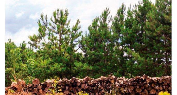 Quantas árvores são necessárias para produzir uma folha de papel